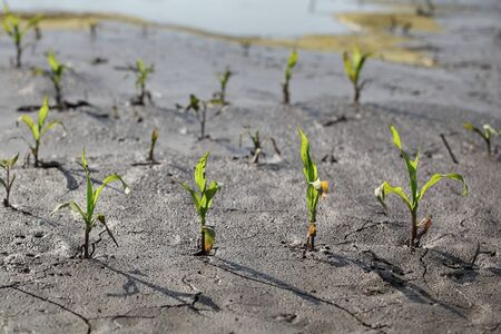Young green damaged corn plants in mud and water, field damaged in flood, agriculture in spring