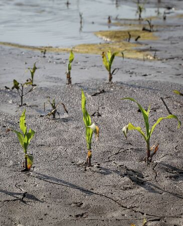 Young green damaged corn plants in mud and water,  field damaged in flood, agriculture in spring Stock fotó