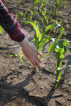 Farmer touching and  inspect young green corn plant in field, agriculture in spring