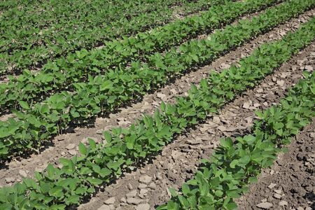 Agriculture, green cultivated soybean plants in field, late spring or early summer, selective focus