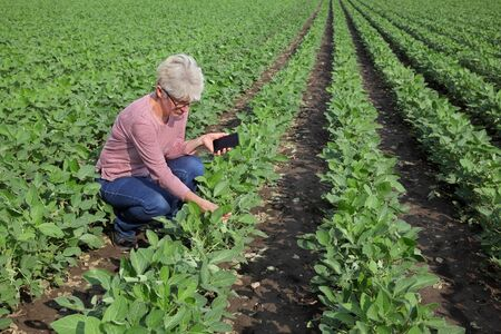 Female farmer or agronomist examine green soy bean plants in field