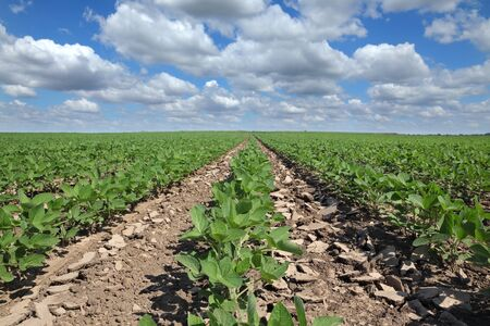 Green cultivated soy bean plant in field with blue sky and fluffy clouds, selective focus, agriculture in spring