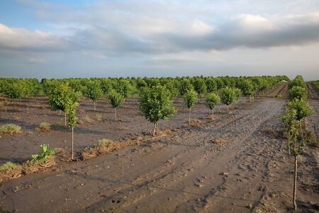 Cherry trees in orchard in mud after  flood, agriculture in spring 版權商用圖片