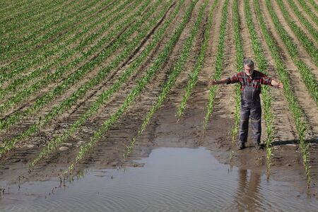 Desperate farmer  inspect young green corn plants in mud and water and gesturing, damaged  field after flood