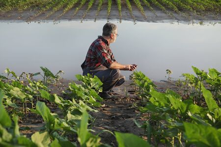 Farmer  inspect young green sunflower plants in mud and water and typing to mobile phone, damaged  field after flood Stock fotó