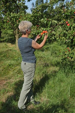 Female farmer or agronomist examining and picking apricot fruit from tree in orchard Stock fotó