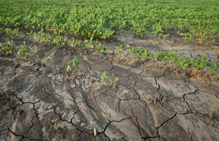 Drought after flood in soy bean field with cracked land and damaged plants