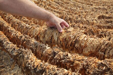 Farmer or agronomist examine tobacco drying in tent, touching dry leaves