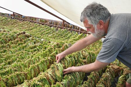 Farmer or agronomist examine tobacco drying in tent, touching leaves 版權商用圖片
