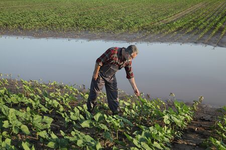 Farmer examining young green sunflower plants in mud and water, damaged  field after flood Stock Photo