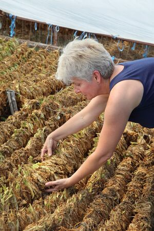 Farmer or agronomist examine tobacco drying in tent, touching dry leaves, rural area of Greece, Olympus region