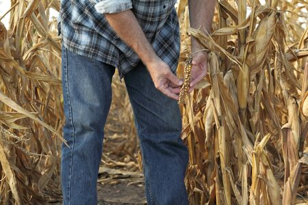 Agricultural scene, farmer or agronomist inspect damaged corn crop and plant in field