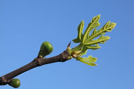 Closeup of of fig branch with green small leaves and fruit in spring, with clear blue sky in background