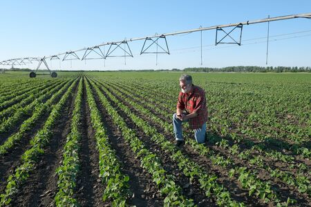 Farmer or agronomist examining soybean plants in field using mobile phone with irrigation system in background Banque d'images