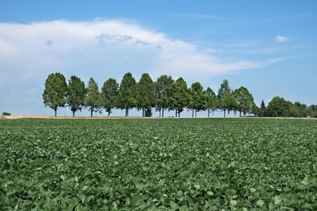 Green cultivated soy bean plant in field with trees in backgrounds and blue sky and clouds, agriculture in spring