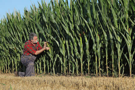 Farmer or agronomist kneeling and  inspecting quality of corn crop and  plants in field, agriculture in early summer Banque d'images