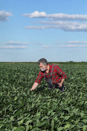 Farmer or agronomist inspecting green soybean plants in field, agriculture in late spring or early summer Banque d'images