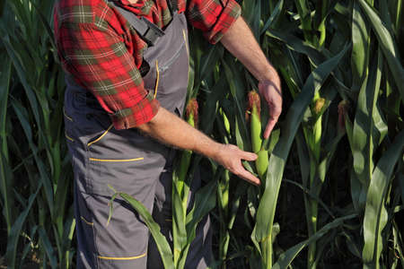 Farmer or agronomist examine corn cob and plant in field, closeup of hands and crop