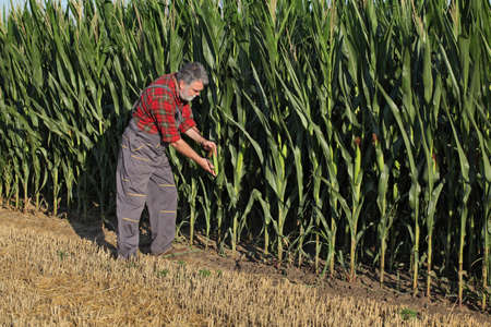 Farmer or agronomist inspecting corn cob and plants in field, agriculture in summer Banque d'images