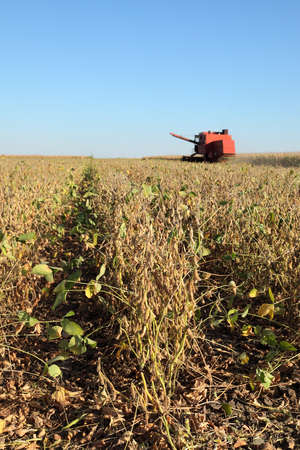 Soy bean plants in field, combine harvesting crop, selective focus on soybean