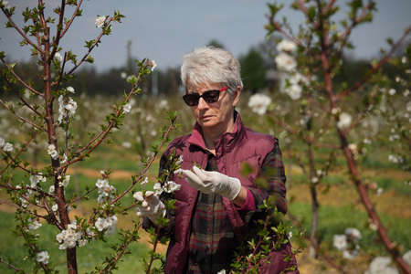Female agronomist or  farmer examining blossoming cherry trees in orchard, and holding branch, wearing gloves on hands