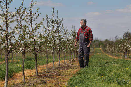 Agronomist or  farmer examining blossoming cherry trees in orchard, and holding tablet Фото со стока