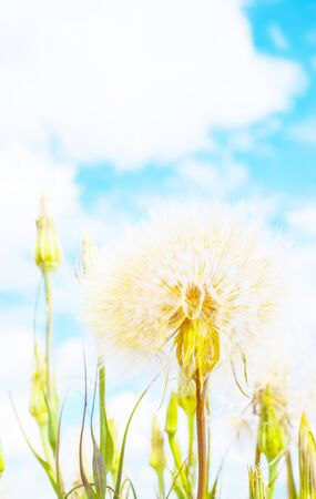 Large dandelions on a background of clouds. Conceptual photo. Copy space for text.
