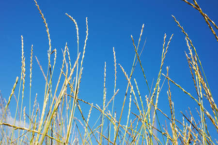 Blades of grass against the blue sky.