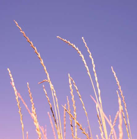 Blades of grass against a lilac sky. Sunset. Dawn. 免版税图像