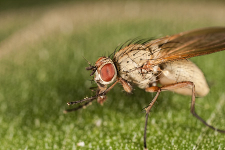 macro leaf: Macro fly portrait. Red eye. Sitting on the leaf and eating pollen Stock Photo