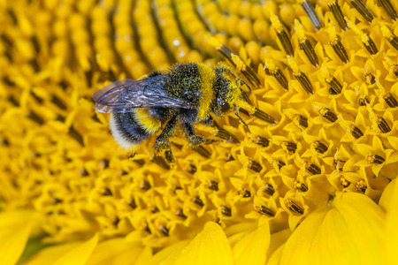 bombus: Bumblebee covered in pollen on a wild flower. Macro