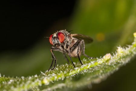 red eye: Macro fly portrait. Red eye. Sitting on the leaf