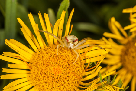 Crab spider on yellow flower is ready for attack. Macro, closeup photo