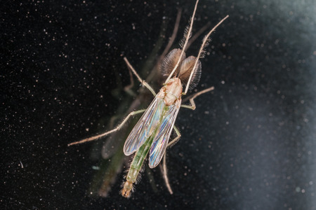 Chironomidae midge known as chironomids or nonbiting midges. Macro, closeup. Size 5mm photo