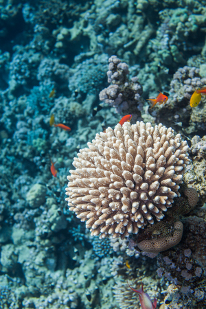 lyretail: Underwater close up of coral. Red sea coral reef. Surrounded with  sea goldie fishes Stock Photo