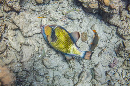 balistoides: Big titan triggerfish eating corals. Red Sea, Egypt, underwater. Surrounded with 3 thalassomas and one medium size orange-lined triggerfish Stock Photo