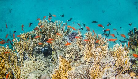 lyretail: Underwater landscape. Red sea coral reef surrounded with many sea goldie fishes.
