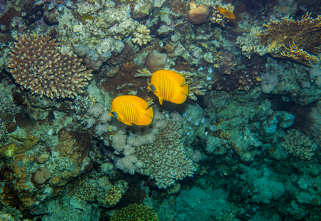 chaetodon: Two butterflyfish swiminng near the stone wall of Red Sea coral reef