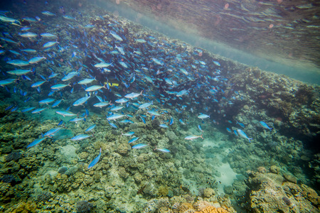 shoal: Shoal of blue fusilier. Underwater landscape. Red sea coral reef. Stock Photo