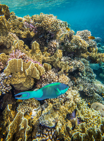 medium size: Underwater landscape. Red sea coral reef. Medium size green scarus fish