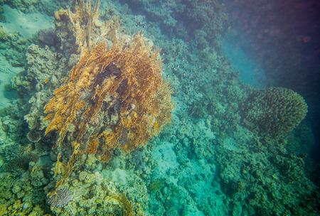 dichotoma: Underwater landscape. Red sea coral reef. Big millepora dichotoma plantation