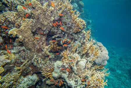 Underwater landscape. Red sea coral reef and sea goldie fish photo