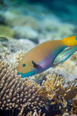 parrotfish: The big yellow scarus fish eating corals in the Red sea. Thalasoma klunzingeri swimming near scarus trying to catch something.
