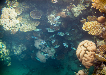 snorkelling: Shoal of abudefduf.Underwater landscape. Red sea coral reef.  Different corals background.