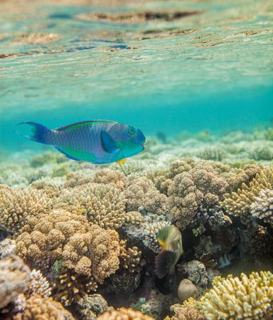 parrotfish: Underwater landscape. Red sea coral reef.  Big scarus fish swimming around