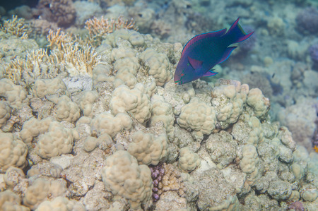 medium size: Underwater landscape. Red sea coral reef. Medium size blue scarus fish