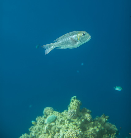 hardcoral: A side view of a Bigeye emperor Monotaxis grandoculis in red sea