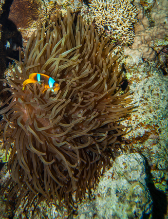 amphiprion bicinctus: Red sea coral reef - Clownfish hiding in the tentacles of its host anemone