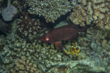red sea: Crescent-tail Bigeye -Priacanthus hamrur hiding in red sea corals