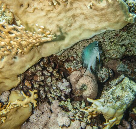 damselfish: Yellowbelly damselfish - Amblyglyphidodon leucogaster hiding under the corals in red sea